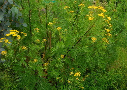 Tansy plants - a yellow natural dye plant