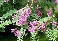 Indigo dye plant flowers - Indigofera tinctoria